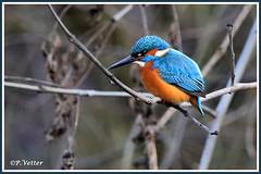 Martin-Pêcheur 200110-02-P (paul.vetter) Tags: nature faune oiseau vogel bird martinpêcheur alcedoatthis commonkingfisher martínpescadorcomún guardarios eisvogel alcédinidé