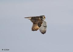 Short Eared Owl. (Swift Wings) Tags: bird birdofprey owl shortearedowl raptor wildlife nature asioflammeus