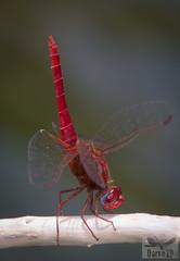 Scarlet darter - Crocothemis erythraea ( BlezSP) Tags: libelulas de gran canaria canaryislandsdragonflies odonatos odonata dragonflies damselflies dragonfly island spain insect