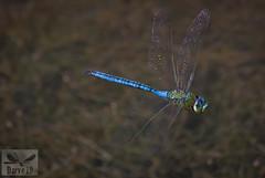 Blue Emperor - Anax imperator ( BlezSP) Tags: libelulas de gran canaria odonatos odonata dragonflies damselflies dragonfly island spain insect