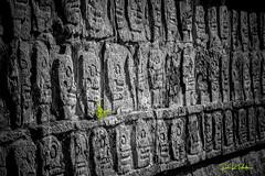 Life from Death ... - Mexico 2014 (Eric R Porcher) Tags: monument architecture maya antique chichenitza mexique extérieur allrightsreserved historique amérique archéo désaturationpartielle civilisationancienne yucatan vert ruine pierres passé vestiges médiéval restes