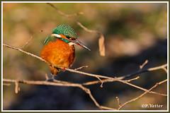 Martin-Pêcheur 200110-01 (paul.vetter) Tags: nature faune oiseau vogel bird martinpêcheur alcedoatthis commonkingfisher martínpescadorcomún guardarios eisvogel alcédinidé