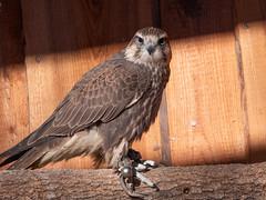 Falcon / Falke (berndkru) Tags: leicadg50200f2840 panasonicdcg9 falke falcon poing wildpark wildlifepark tiere animals