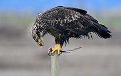 Immature Bald Eagle - Such Talons (kenyoung3) Tags: haliaeetusleucocephalus eagle talons birdsofprey immature baldeagle boundarybaydeltabc