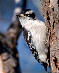 Downy Woodpecker (Dryobates pubescens) (Steve Arena) Tags: wachusettview westborough westboro worcestercounty massachusetts 2019 nikon d750 bird birds birding backyard downywoodpecker dowo dryobatespubescens