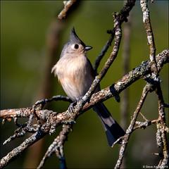 Tufted Titmouse (Baeolophus bicolor) (Steve Arena) Tags: wachusettview westborough westboro worcestercounty massachusetts 2019 nikon d750 bird birds birding backyard tuftedtitmouse baeolophusbicolor