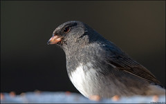 Dark-eyed (Slate-colored) Junco (Junco hyemalis) (Steve Arena) Tags: wachusettview westborough westboro worcestercounty massachusetts 2019 nikon d750 bird birds birding backyard darkeyedjunco slatecoloredjunco juncohyemalis