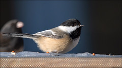 Black-capped Chickadee (Poecile atricapillus) (Steve Arena) Tags: wachusettview westborough westboro worcestercounty massachusetts 2019 nikon d750 bird birds birding backyard blackcappedchickadee poecileatricapillus