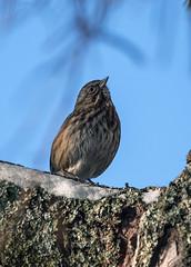 Song Sparrow in winter Alaska (Gillfoto) Tags: sparrow winter alaska juneau ptlouisa aukerec bird songsparrow