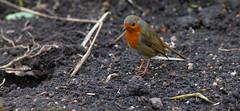 Worm Hunting... (Adam Swaine) Tags: adamswaine robin robinredbreast robins birds gardenbirds englishbirds britishbirds wildlife naturelovers nature naturewatcher canon england english britain british uk ukcounties peckhamryepark londonparks rspb 2020 beautiful