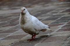 Point de vue pigeonnant ! (Tonton Gilles) Tags: portrait colombe pigeon tourterelle blanche blanc pavés ras du sol lignes
