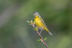 Nashville Warbler (Joe Branco) Tags: green macro bird photoshop lightroom birdphotography ontario canada nature branco joe naturephotography nashvillewarbler wildlifephotography joebrancophotography