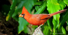 """Year-Round Residents Of Florida"" (Gary Helm) Tags: bird birds fly flight feathers perch red songbird male yearround image nature photograph wildlife outside outdoor yard polkcounty florida floridawildlife camera canon sx60hs northerncardinal ghelm4747 garyhelm"