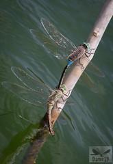 Lesser Emperor - Anax parthenope ( BlezSP) Tags: libelulas de gran canaria canaryislandsdragonflies odonatos odonata dragonflies damselflies dragonfly island spain insect