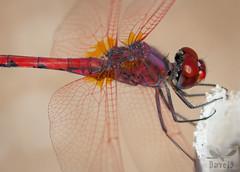Red-Veined Dropwing -Trithemis arteriosa ( BlezSP) Tags: libelulas de gran canaria canaryislandsdragonflies odonatos odonata dragonflies damselflies dragonfly island spain insect