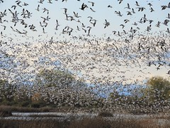 A billion snow geese taking off at once! (Ruby 2417) Tags: goose geese bird wildlife nature flock flight fly flying white winter gray lodge marsh swamp wetland wetlands