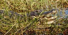 Alligator (haroldmoses) Tags: alligators florida reptiles everglades