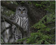 """Our"" Barred owl (RKop) Tags: raphaelkopanphotography cincinnati owl nikon 200500mmf56edvrzoom d500 topazai"
