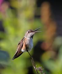 Rufus Hummingbird (brian.bemmels) Tags: rufushummingbird female rufus hummingbird elasphorus elasphorusrufus nature fauna outdoors outside wildlife bird birdsofbc richmond bc britishcolumbia canada richmondnaturepark
