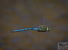 Blue Emperor - Anax imperator ( BlezSP) Tags: libelulas de gran canaria canaryislandsdragonflies odonatos odonata dragonflies damselflies dragonfly island spain insect