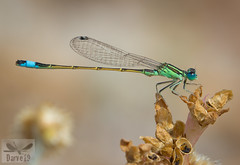 Sahara Bluetail - Ischnura sahariensis ( BlezSP) Tags: libelulas de gran canaria canaryislandsdragonflies odonatos odonata dragonflies damselflies dragonfly island spain insect