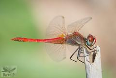 Red-Veined darter - Sympetrum fonscolombii ( BlezSP) Tags: libelulas de gran canaria canaryislandsdragonflies odonatos odonata dragonflies damselflies dragonfly island spain insect