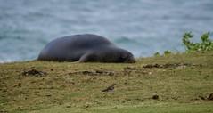 D85_0963 (mwelsch70) Tags: d850 hawaii kauai nikon nikkor beach seal bird ocean nature water monkseal