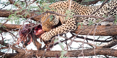 Leopard Dinner (3) (jeff_a_goldberg) Tags: africa kill gomoti nature naturalhabitatadventures nathab jeffgoldbergphotography unesco wildlife tree blood botswana wildernesssafaris leopard eat unescoworldheritagesite okavangodelta maun northwestdistrict