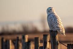 Snowy Owl (NicoleW0000) Tags: snowyowl owl bird birdofprey wildlife wild nature naturephotography fence sunlight 600mm