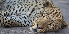 Rest Time (jeff_a_goldberg) Tags: africa botswana safari gomoti nature nationalpark leopard santawaniprivateconcession wildernesssafaris naturalhabitatadventures nathab wildlife okavangodelta maun northwestdistrict