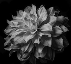 White And Pink Dhalia In Black And White (Bill Gracey 25 Million Views) Tags: sandiegocountyfair dahlia fleur flower flor blackandwhite noiretblanc blancoynegro silverefexpro yongnuo yongnuorf603n sidelighting shadows shapes textures lastoliteezbox softbox