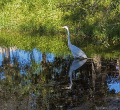 Perfect Reflection. (Sparkle_Photography) Tags: bird birds birdphotography birdofamerica birdsofafeather birdbirds birdwild birdegret egret reflection florida floridaphotography floridanature floridaphotographer floridabird floridawildllife wildlife wildlifephotography