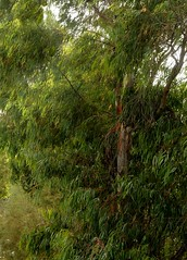 Blauer Eukalyptus (Eucalyptus globulus); Teneriffa (5) (Chironius) Tags: teneriffa spanien españa spain tenerife eucalyptus baum myrtaceae myrtales rosids испания myrtenartige myrtoideae myrtengewächse eucalypteae malvids eukalypten trees tree árboles boom arbres árbol albero bäume arbre árvore träd ağaç дерево деревья explored