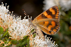 Synemon directa (jeans_Photos) Tags: westernaustralia mtcooke millarslogroad laterite butterfly synemon synemondirecta taxonomy:binomial=synemondirecta geo:country=australia geo:state=westernaustralia geo:lat=323640 geo:lon=1162964 northernjarrahforest hakearuscifolia sunmoth orange