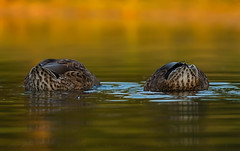 Dubble Ducking in Fall (becauseLIGHT 〄) Tags: becauselightcom olympus libertytownship ducking cincinnati water birds lake fall orange wildlife feathers green ohio 2019 ducks lucianflorea 150mm park omdem5markii
