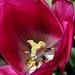 Tulip stamen and pistil, Parc du Bois-de-Coulonge, Quebec
