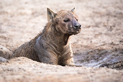 Out of the Mud (jeff_a_goldberg) Tags: africa botswana wildlife gomoti spottedhyena nature hyena unescoworldheritagesite unesco wildernesssafaris naturalhabitatadventures nathab jeffgoldbergphotography okavangodelta maun northwestdistrict