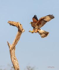 Harris Hawk juvenile (rickdunlap2) Tags: parabuteounicinctus harrishawk hawk raptor birdofprey missiontexasusa bird wildlife animal