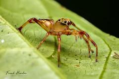 Jumping Spider (Bathippus sp) female (F.Hendre) Tags: bathippussp jumpingspider spider arachnid macro malaysianspider salticidae stack