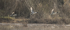 All for one... (woodwindfarm) Tags: pintails flight bif