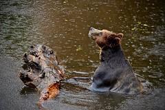 Dreamin' of Summer in the Rain:  Grizzly Bear (Ursus arctis horribilis) (Ginger H Robinson) Tags: dreaming summer rain raindrops grizzlybear bear fortressofthebear rescue sitka alaska animal carnivore fur ursus june