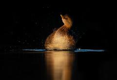Pied-billed Grebe (nikunj.m.patel) Tags: nature grebe arizona wildlife wild