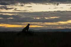 cheetah at sunset (PhilHydePhotos) Tags: africa cheetah duma feline mammals safari seasonofsmallrains serengeti tanzania wildlife cats predator