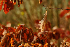 I cant hang on for much longer (tonguedevil) Tags: outdoor outside countryside winter nature tree leaves bokeh colour light sunlight