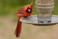 Northern Cardinal (deanrr) Tags: bird outdoor nature northerncardinal malenortherncardinal morgancountyalabama 2020 wildlife backyardbird feeder