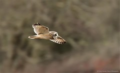 SEO (CindyFullwiler Nature Photography) Tags: shortearedowl hunting raptor preditor shortie grassland dungeness voles