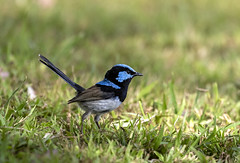 Superb Fairy Wren (richard.mcmanus.) Tags: superbfairywren wren bird wildlife australia richardmcmanus gettyimages