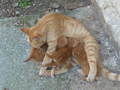 mother's care!!  P1090629 (amalia_mar) Tags: animals cat fauna brown brownsaturday cute mother care closeup sundaylights nature colorfulnature americanshorthair avril kittens