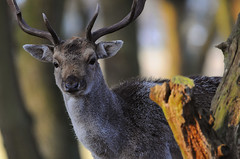 Woodland Wanderer (andy_AHG) Tags: wildlife winter stag fallowdeerbuck antlers animals nikond300s yorkshire