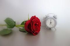 good morning :-) (majka44) Tags: rose red time macro macroworld light morning life stilllife lifestyle flower atmosphere mood white green leaves bokeh